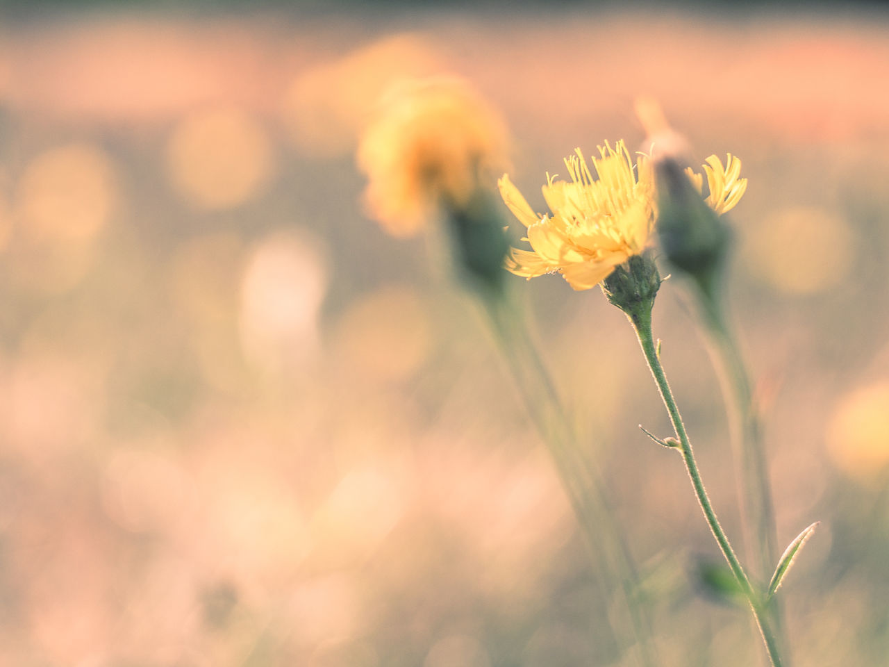 Beauty In Nature Close-up Day Field Flower Flower Head Focus On Foreground Fragility Freshness Growth Nature No People Outdoors Plant