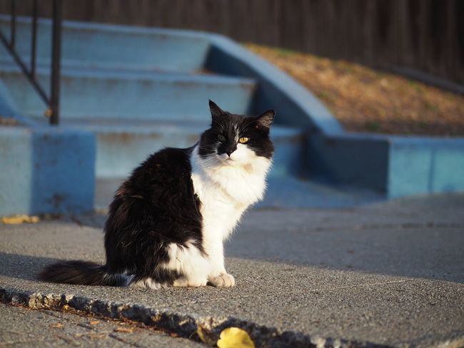 Taking Pictures Cat MCats Of EyeEm Meow Cat♡ One Animal Domestic Animals Animal Themes Domestic Cat Pets Full Length Outdoors Shallow Depth Of Field Onthestreet Blackandwhitecat Horizontal Surface Level Enjoying Sunset Selective Focus Vibrant Color Bright Yellow Street Life Cats Of EyeEm