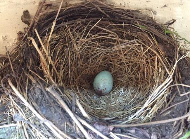 Bird Bird Nest Animal Nest Egg Close-up Animal Themes New Life Nest Nature Twigs Babies