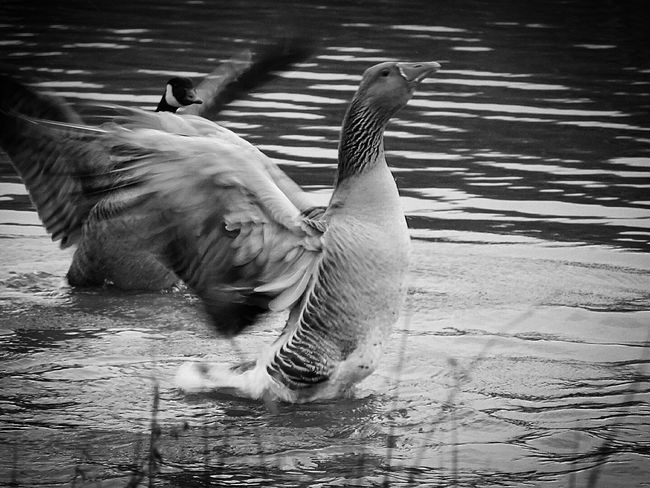 On The Lake Pond Life Goose Flapping Flapping Its Wings Spread Wings Birds Wildlife