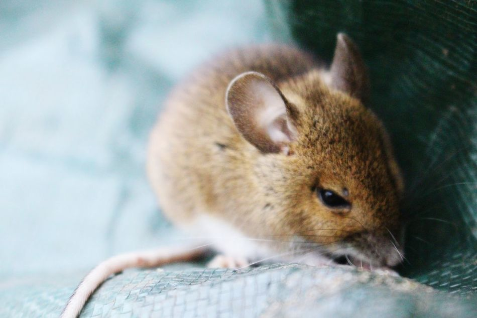 Beautiful stock photos of mouse, Animal Themes, Animal Wildlife, Animals In The Wild, Close-Up