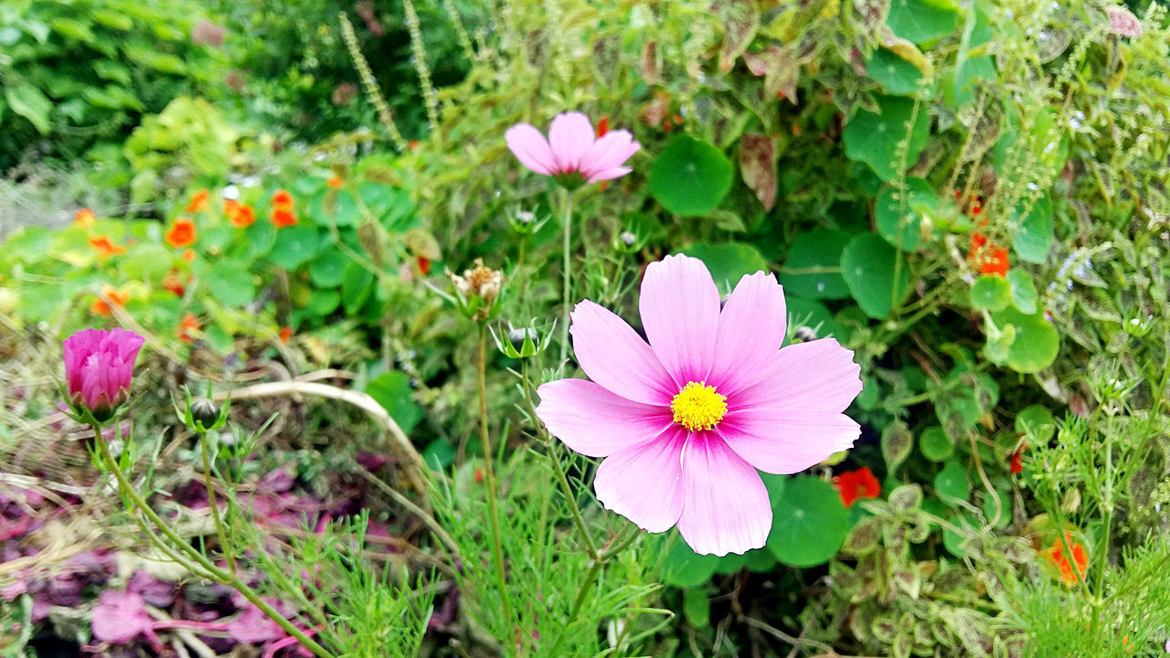 flower, petal, growth, fragility, beauty in nature, nature, pink color, plant, flower head, freshness, blooming, no people, outdoors, day, cosmos flower, green color, close-up, osteospermum, zinnia, eastern purple coneflower