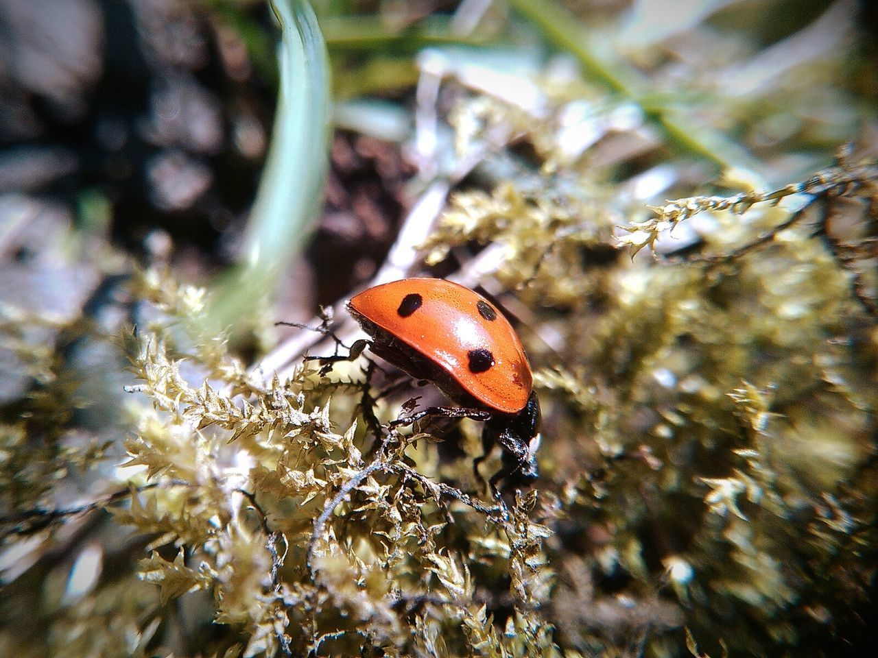 Macro Nature Macro Insect  Ladybug Insect Insects  Insect Photography Macro Macroclique Macro_flower Macro Plants Moss Plants Plant Moss In Macro Moss Close Up Dots Black Dots Macro Insects Macro_bugs Bug Macro Bug Macroshot Macro World Macro Beauty Macro Garden