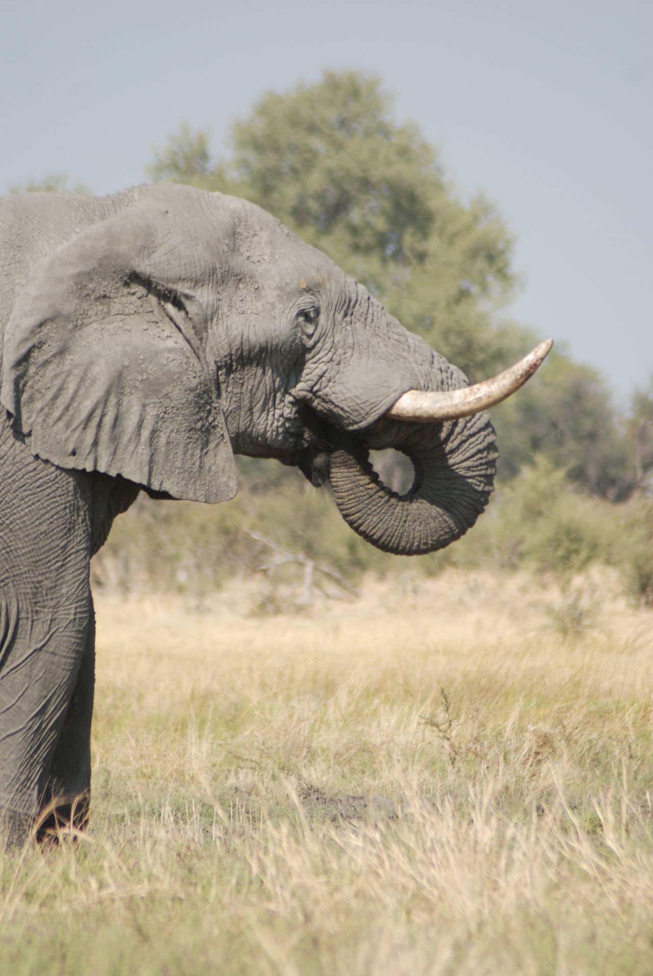 Beautiful stock photos of elephant, Animal Themes, Animal Trunk, Animal Wildlife, Animals In The Wild
