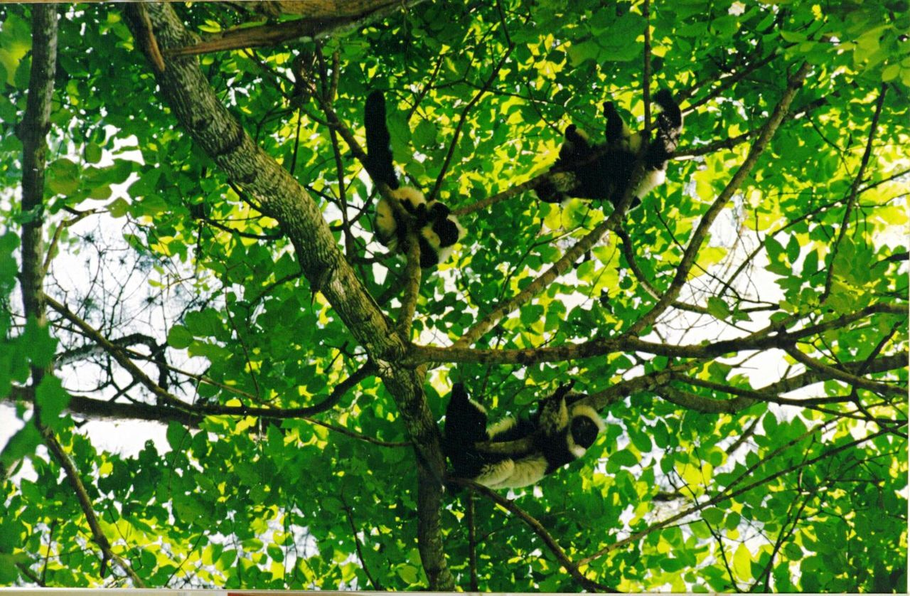 Nature camouflaged in the tree Back And White Ruffed Lemurs Endangeredspecies Zoology Freedom Migrating Animals