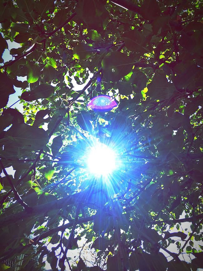Low Angle View Tree Sun Sunbeam Leaf Sunlight Growth Branch Lens Flare Green Color Day Brightly Lit Nature Blue Beauty In Nature Outdoors Back Lit Bright Tree Canopy  Tranquility