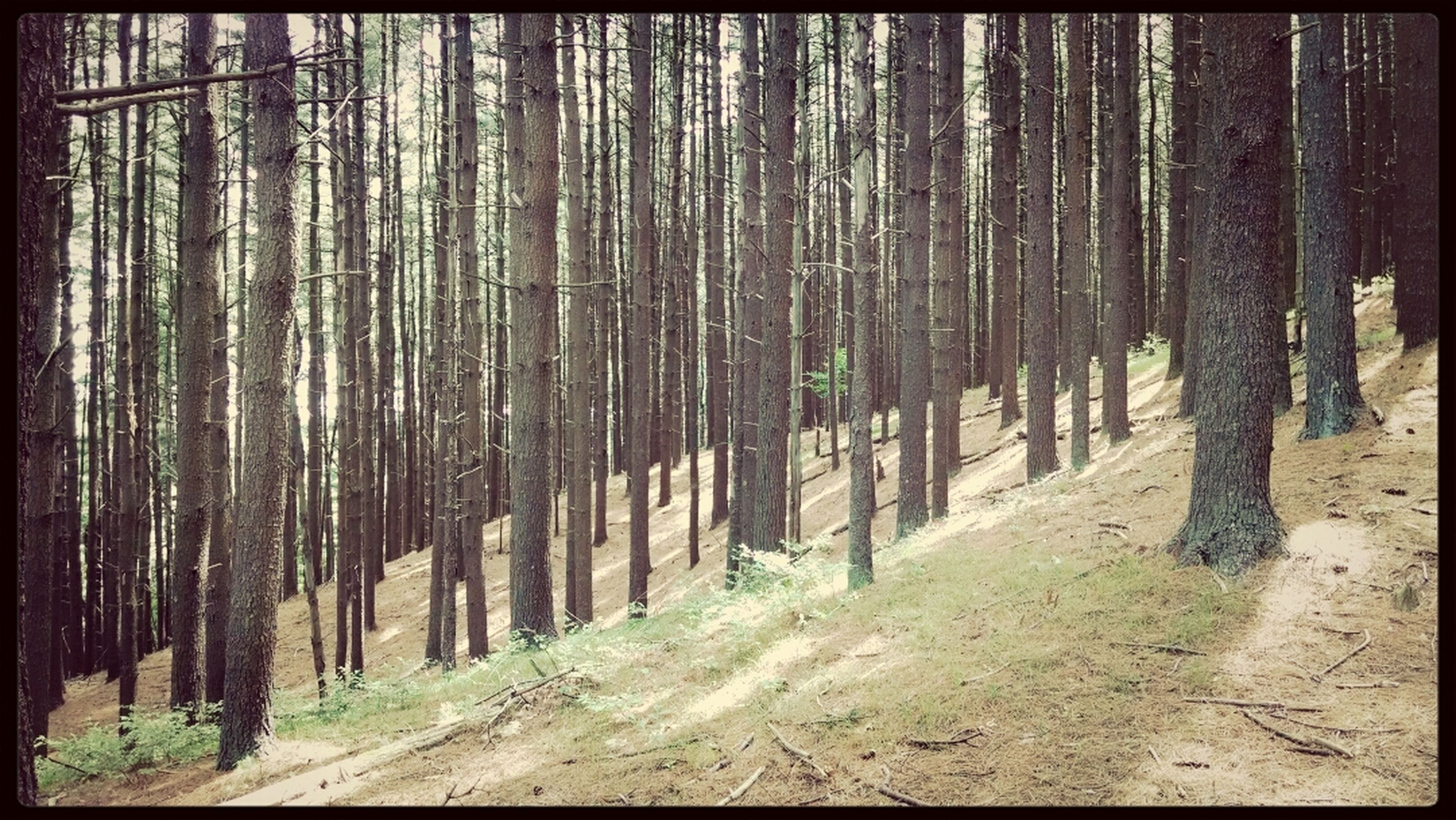 tree, forest, tree trunk, woodland, tranquility, transfer print, growth, nature, tranquil scene, auto post production filter, landscape, abundance, non-urban scene, beauty in nature, day, outdoors, scenics, wood - material, no people, woods