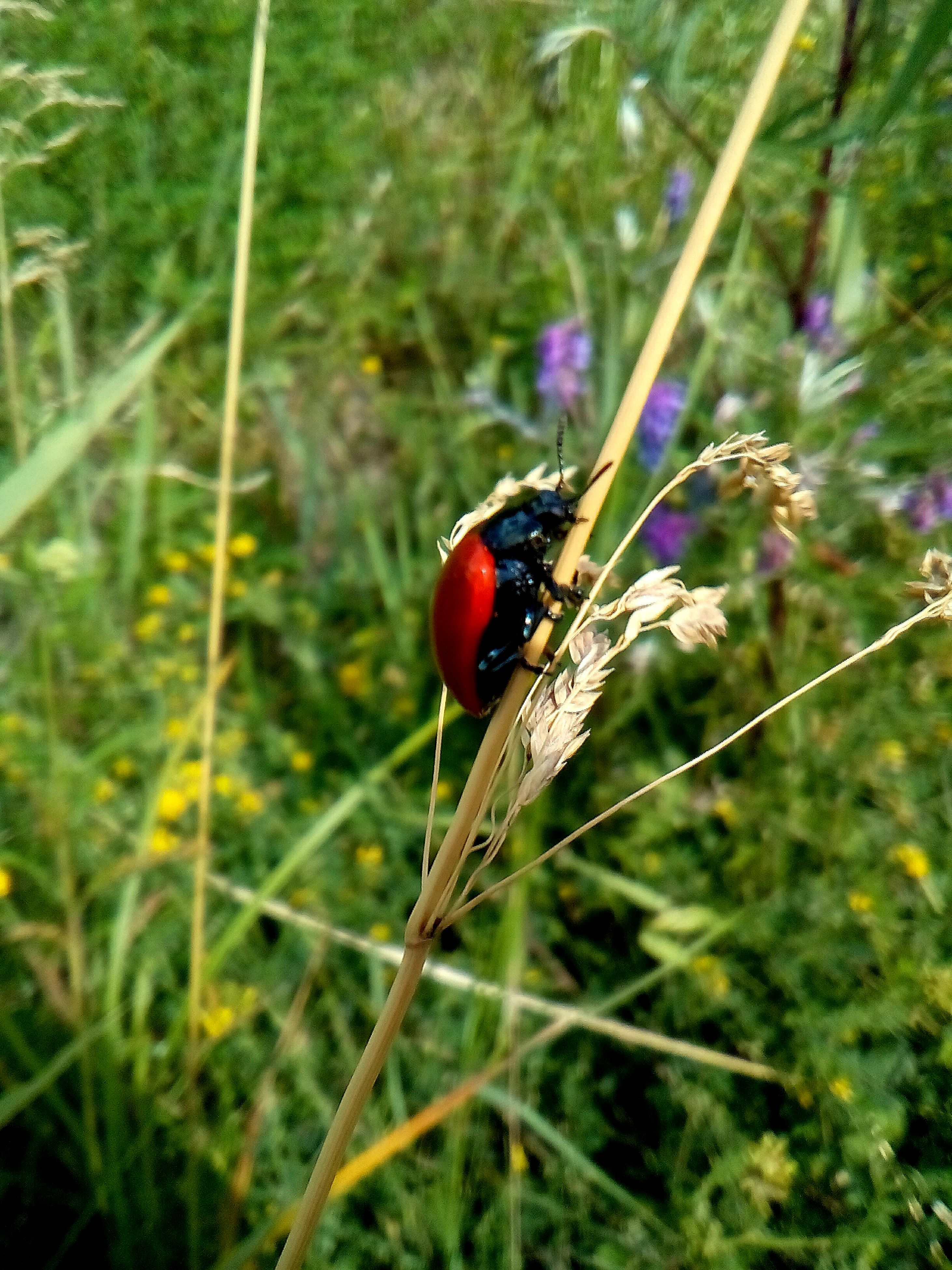 insect, animal themes, animals in the wild, one animal, nature, wildlife, close-up, no people, grass, growth, focus on foreground, day, plant, outdoors, red, ladybug, animal wildlife, tiny, beauty in nature, fragility