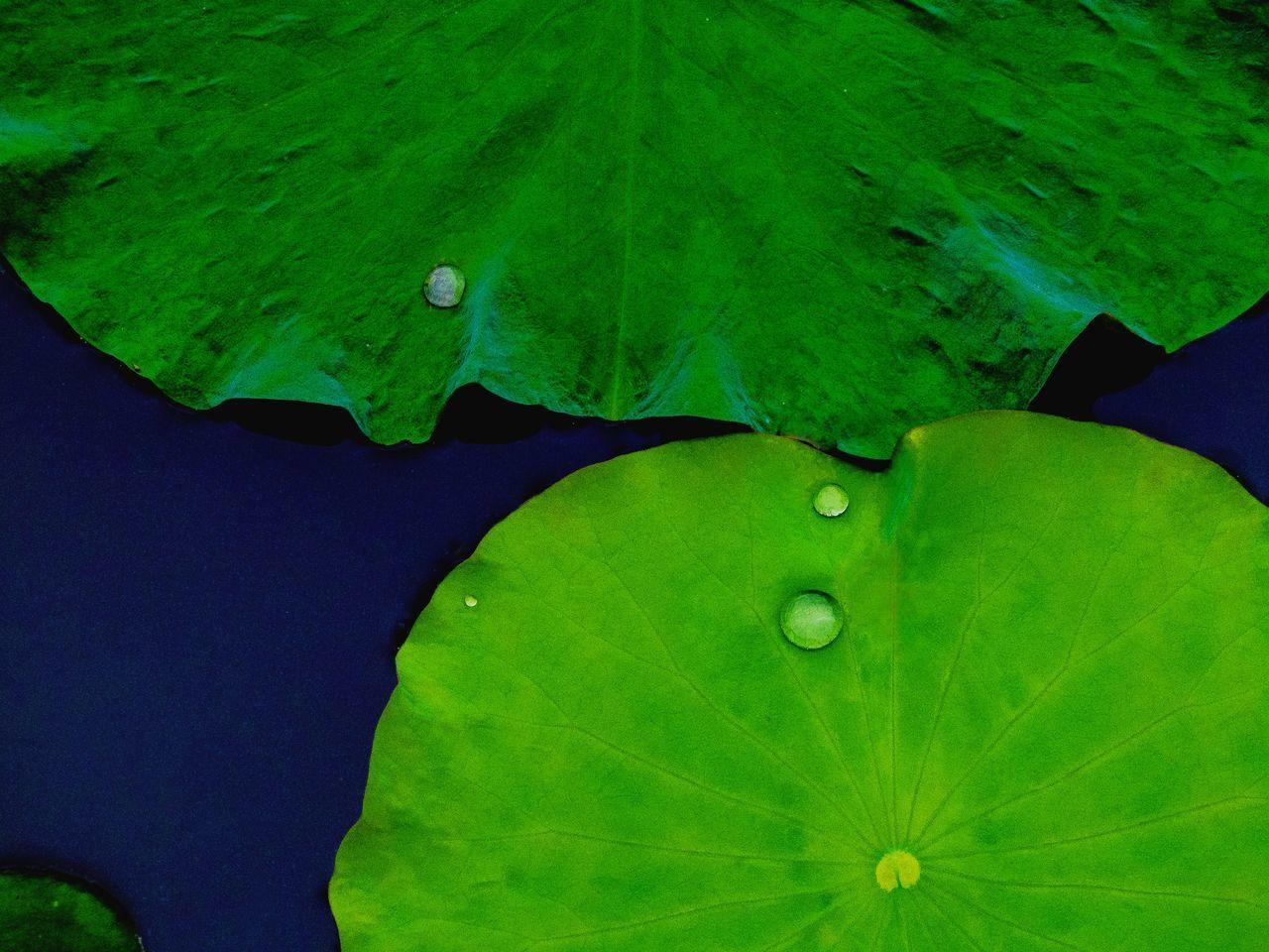 Lotus Leaves Floating On Pond