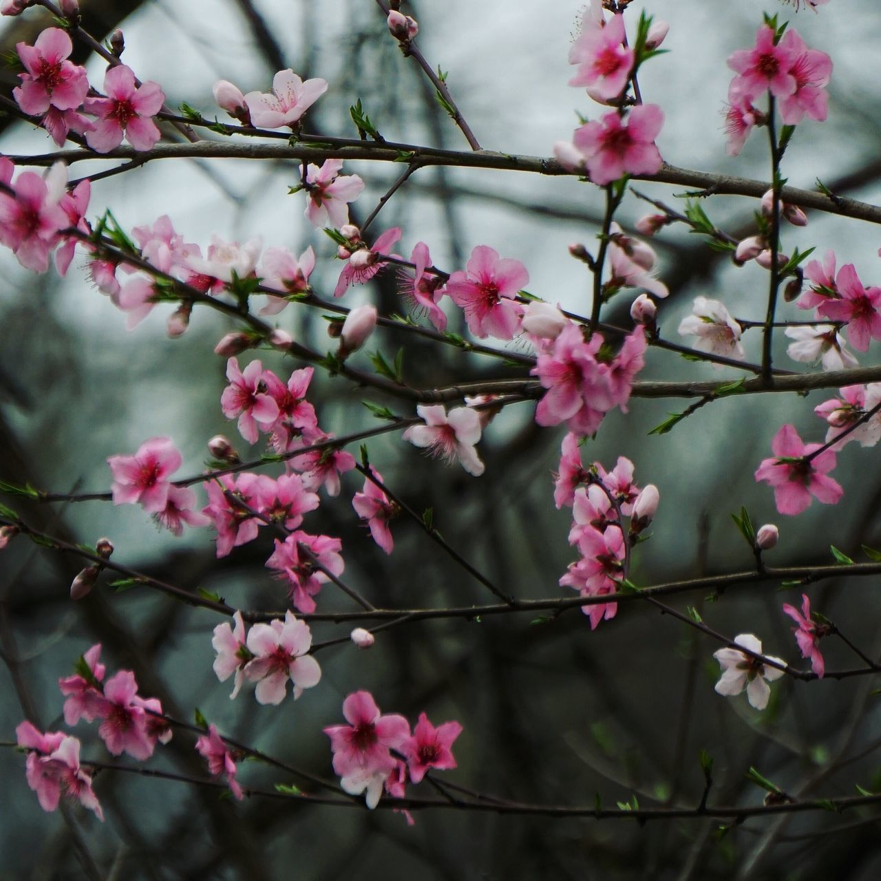 Spring fling Flowers Signs Of Spring Spring Flowers Cheery Cheer On A Gloomy Day Delight In Sight Delight  Pink Flowers