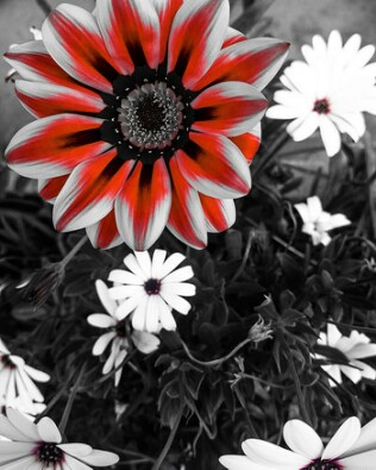 Flower Power 2 - Flower Spring Red Blackandwhite PtOlix Justforfun