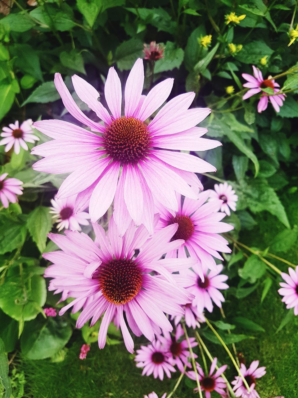 flower, petal, fragility, growth, freshness, nature, flower head, beauty in nature, plant, day, outdoors, blooming, pink color, no people, purple, osteospermum, close-up, eastern purple coneflower