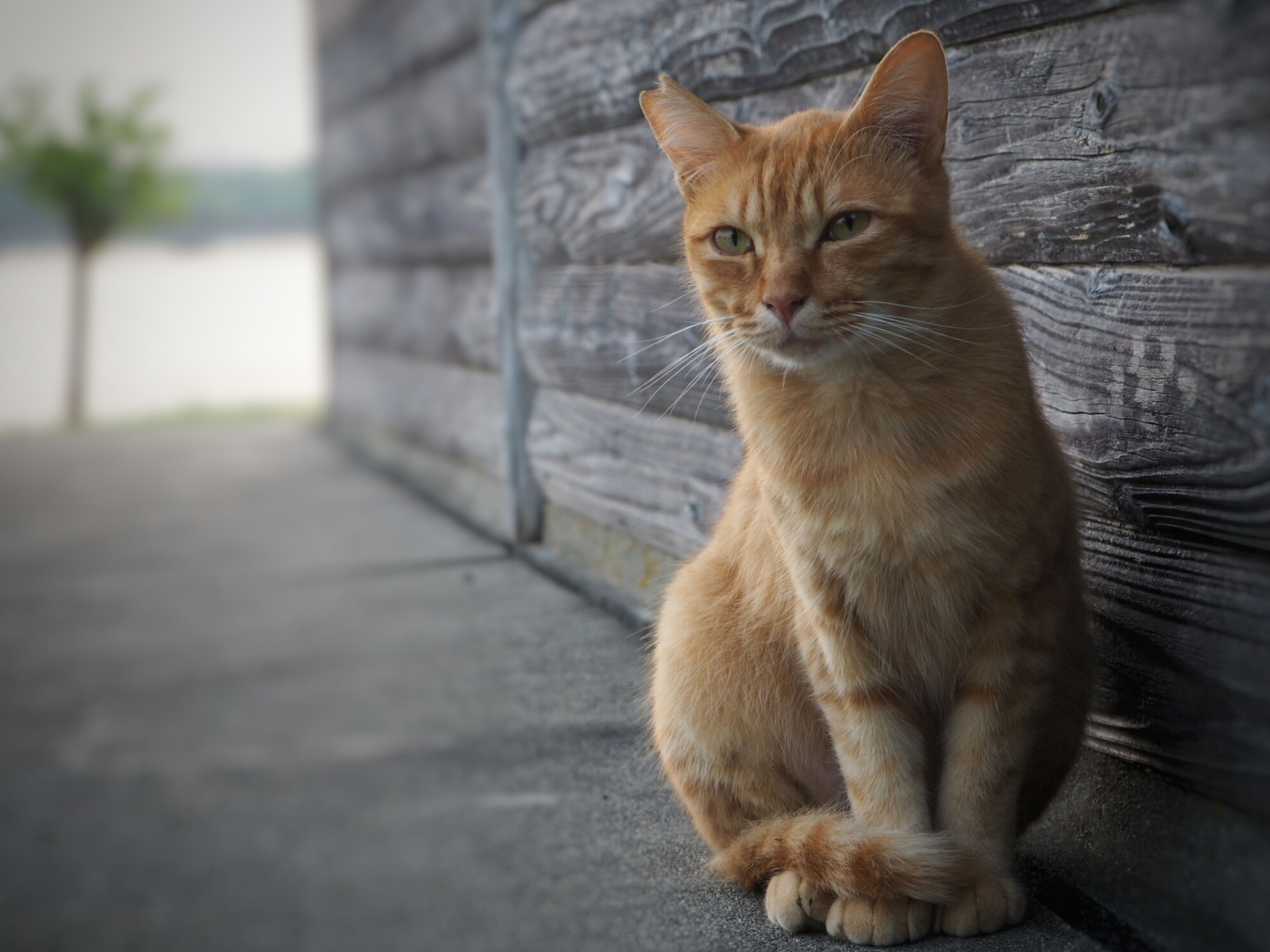 domestic cat, one animal, animal themes, cat, pets, feline, mammal, domestic animals, whisker, sitting, focus on foreground, portrait, looking at camera, close-up, alertness, staring, front view, day, no people