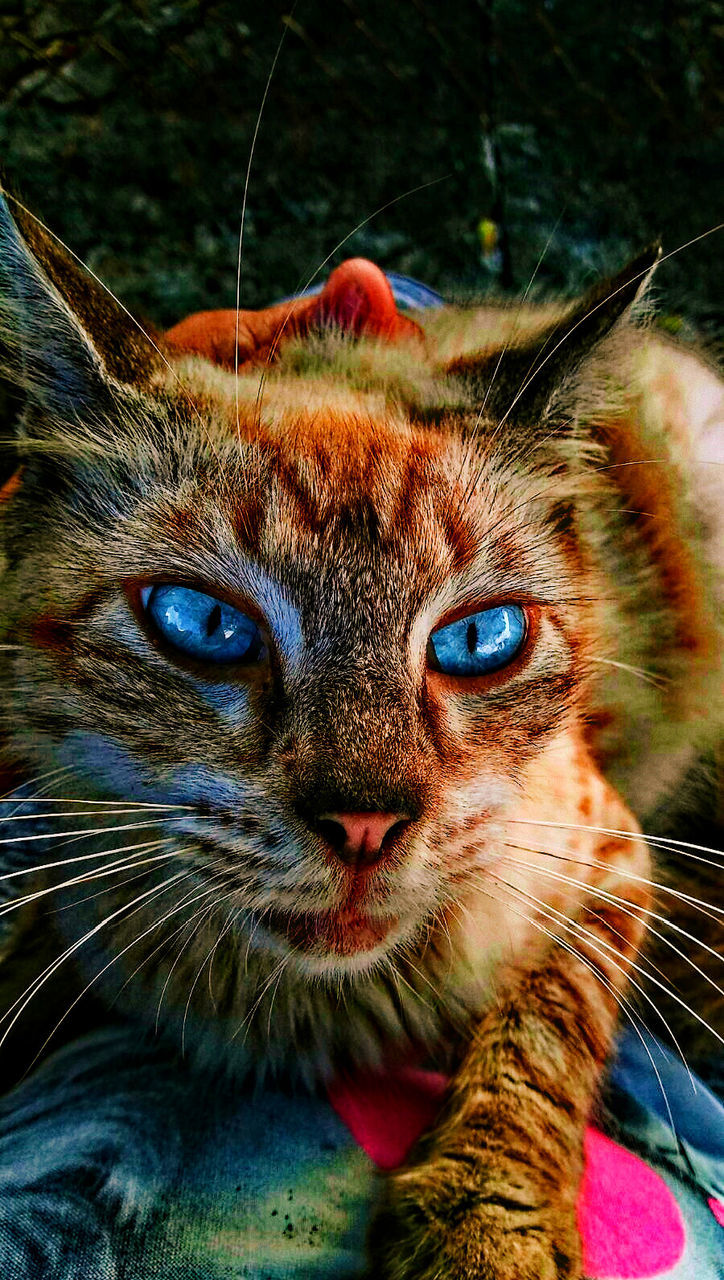 domestic cat, pets, domestic animals, one animal, animal themes, looking at camera, feline, mammal, portrait, whisker, close-up, no people, outdoors, day