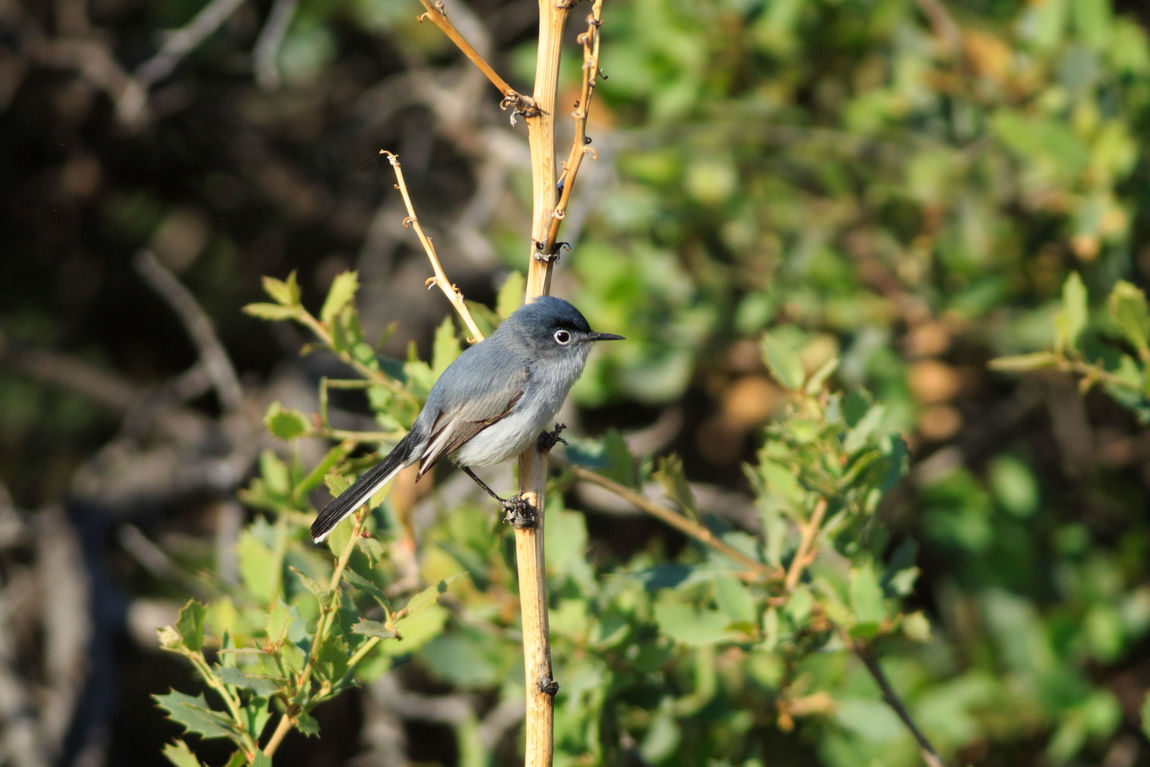 Gnatcatcher at Snow Canyon Bird Animal Wildlife Animals In The Wild Tree Animal Themes Southern Utah  St George, Utah Animals In The Wild Animal Birds Perching Blue-gray Gnatcatcher Gnatcatcher Snow Canyon State Park Songbird