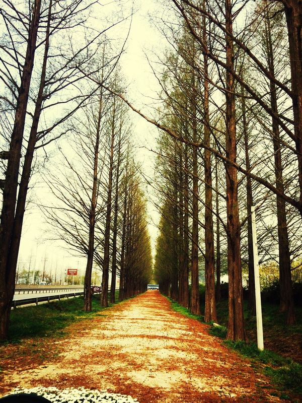 Metasequoia Road Walking Relaxing Metasequoia Road
