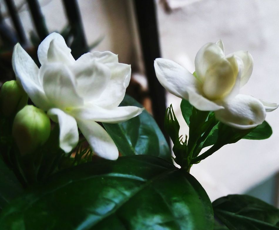 Taking Photos Check This Out Eyem Nature Lovers  Colour Splash Eyem Gallery Eyemphotography Eyem Best Shots Pottedplants Plants Intheafternoon Life Growing Plants Mobilephotography Growing Growth Leaves Fresh On Eyeem  Buds On Branches Petals Petals Of Flowers WhitePetal White White Flower Tiny Fragile