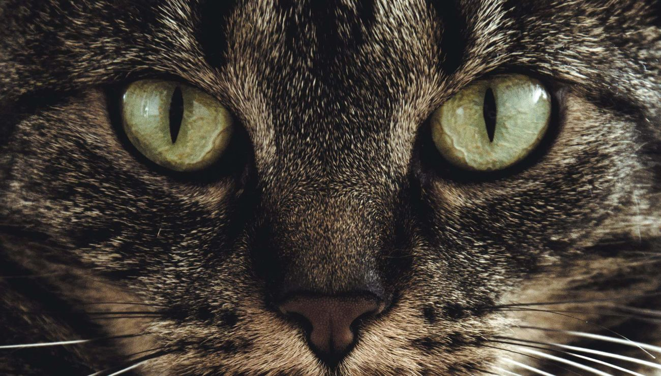 Showcase July Animal Animal Photography Cat Cat Eyes Piercing Eyes