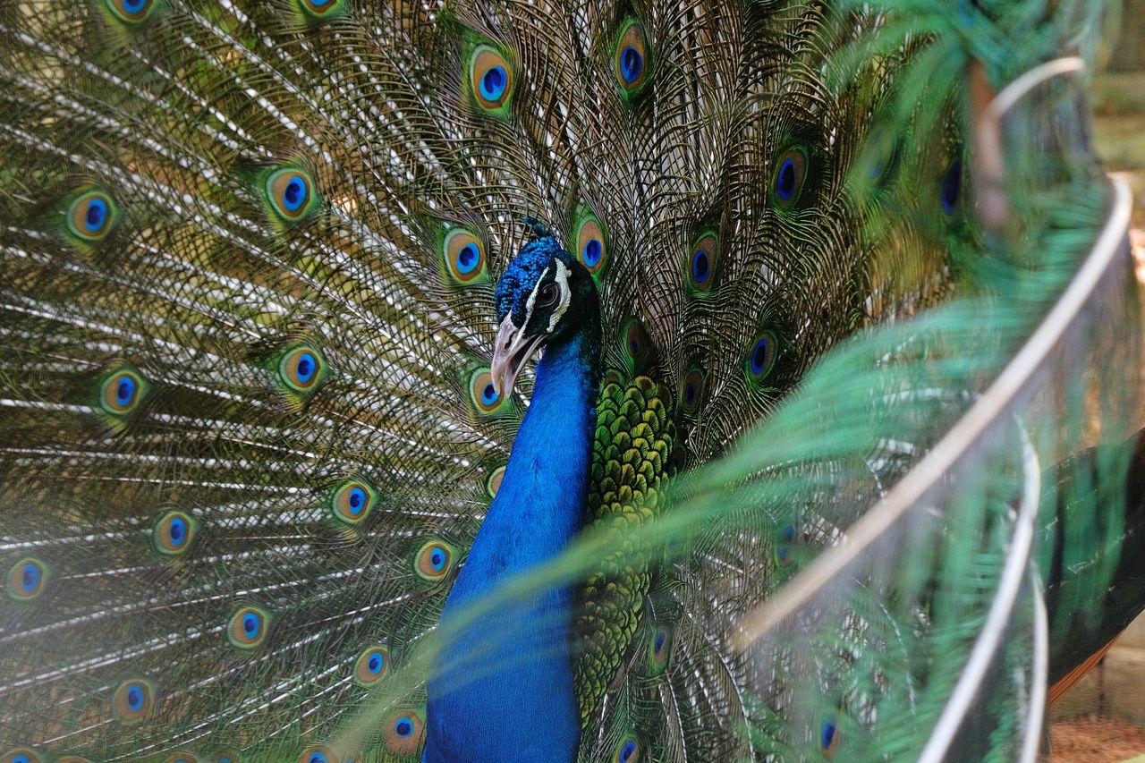Beautiful stock photos of peacock,  Animal Wildlife,  Animals In The Wild,  Beak,  Bird