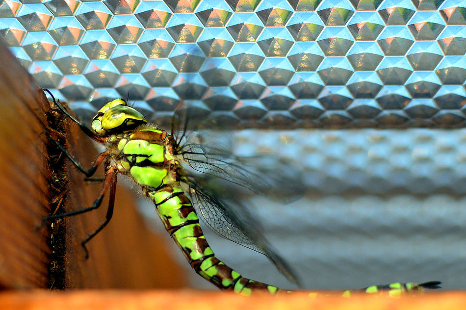 details of a dragonfly Animal Animal Behavior Animal Themes Animal Wing Animals In The Wild Close-up Flying Focus On Foreground Gragonfly Honey Bee Insect Invertebrate No People One Animal Perching Wildlife Winged Zoology