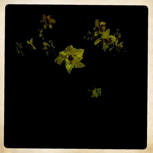 Portland Daffodils Nightphotography Night
