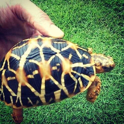 Tortoise Startortoise Mysurumemes Mysore Nature Beautiful Reptiles