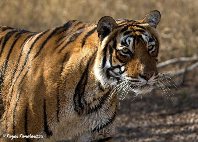 Ranthambore India . Let's all come together to keep the wildlife heritage around the world healthy and safe Dudla Tigers Wildlife Travel Photography Natgeotravel Discoverychannel BBCTravel