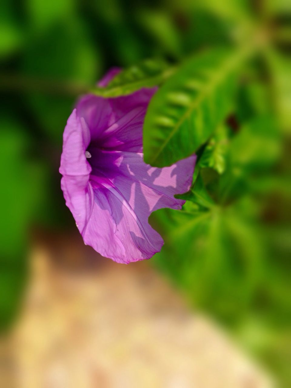 nature, leaf, fragility, flower, beauty in nature, growth, petal, no people, plant, purple, outdoors, day, close-up, freshness, flower head, blooming, petunia