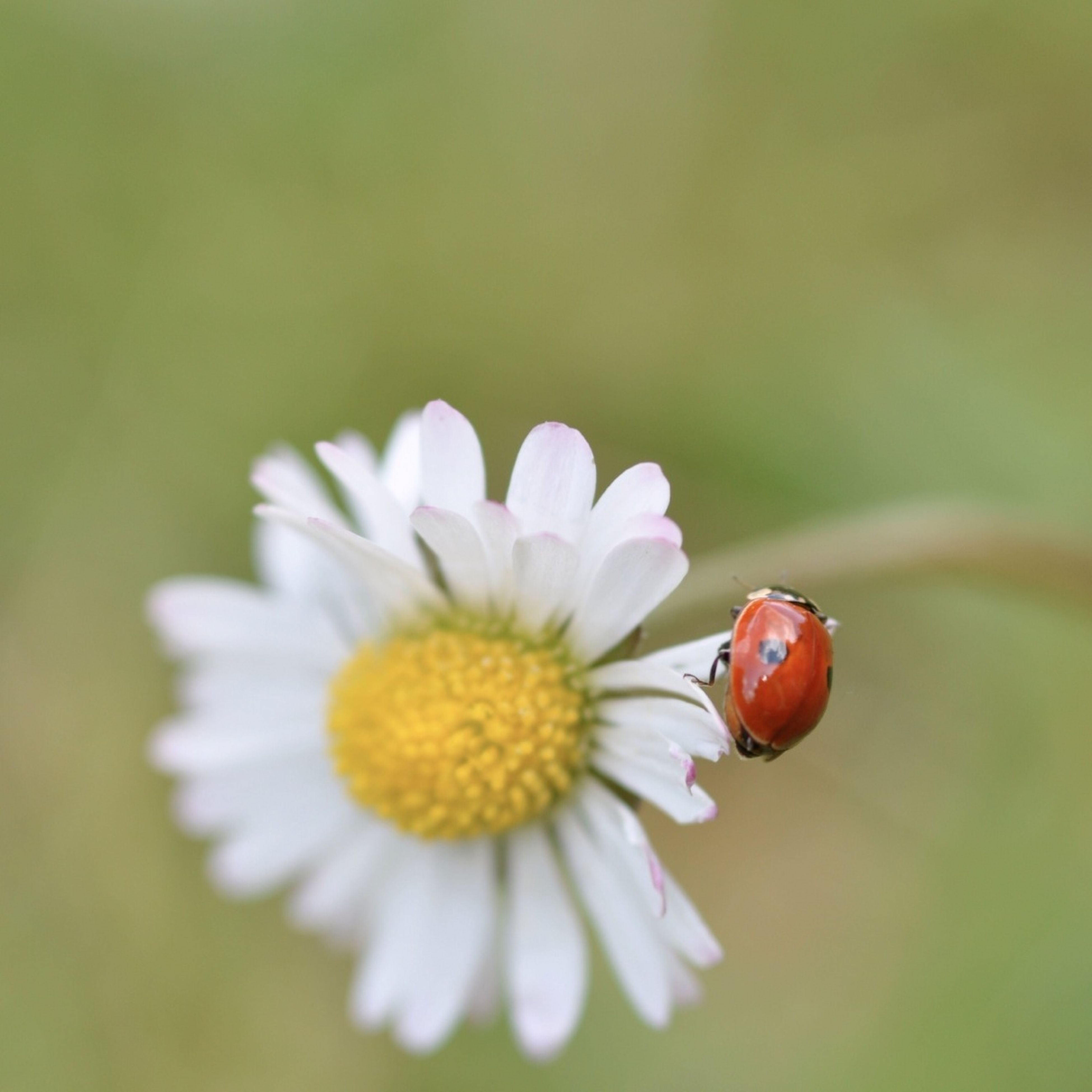 flower, petal, insect, freshness, flower head, fragility, close-up, animal themes, pollen, one animal, focus on foreground, beauty in nature, animals in the wild, wildlife, nature, growth, single flower, white color, selective focus, blooming