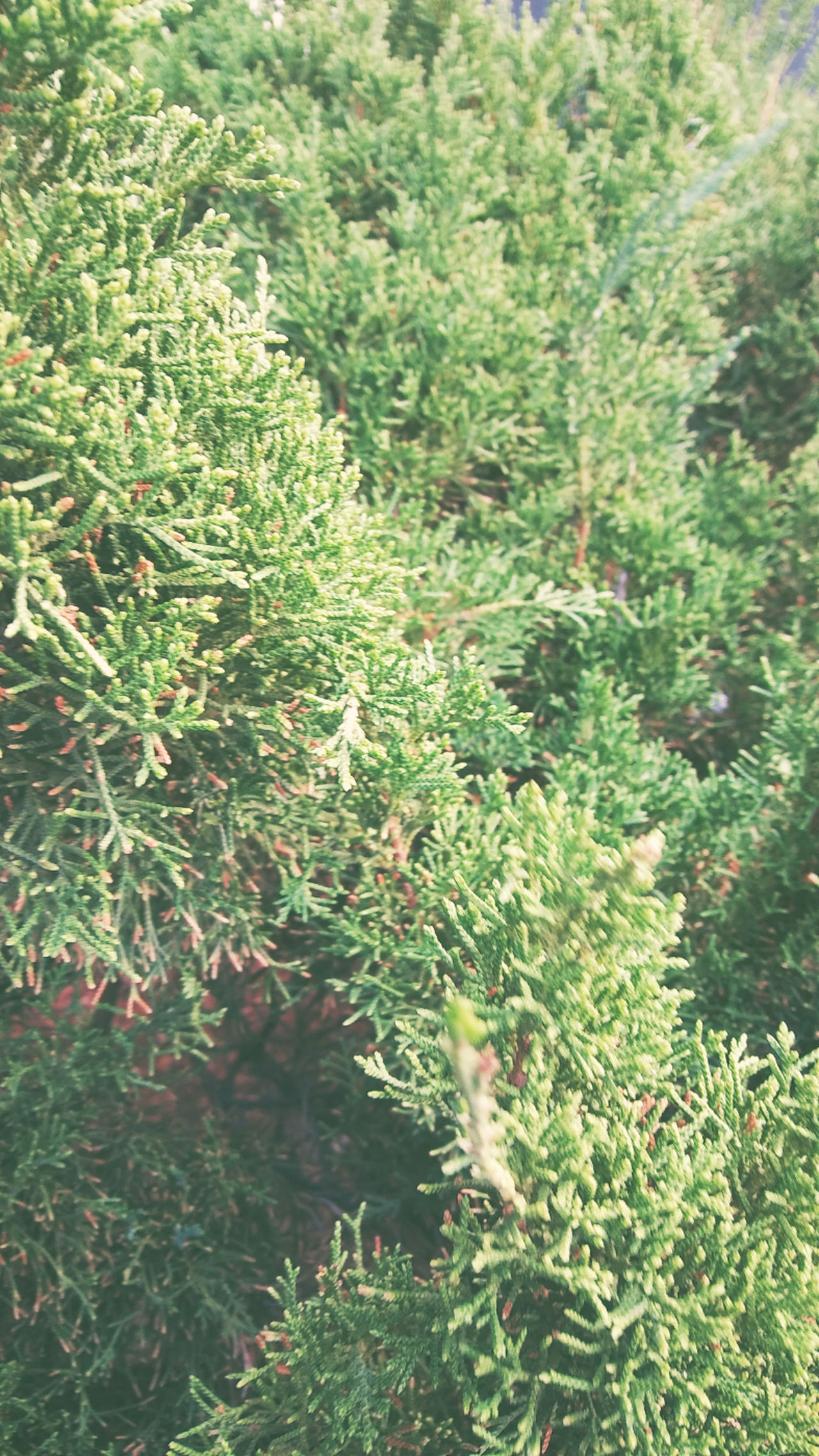 Nature Growth No People Backgrounds Green Color Plant Outdoors Day Beauty In Nature Freshness Plants 🌱 Original Agriculture Calming New Plant Plant Photographer Pine Christmas Tree Chrstmas:)) Close Up Photography Taking Photos Freshness