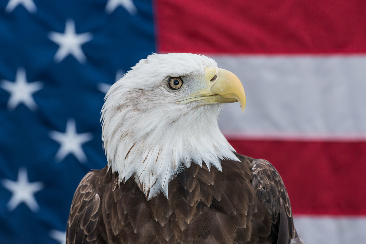 America American Flag Animal Body Part Animal Head  Avian Bald Eagle Bald Eagle With The American Flag Beak Beauty In Nature Bird Bird Of Prey Close-up Day Feather  Focus On Foreground Nature No People Outdoors Bird Perching Portrait Selective Focus Animals Eagle bald eagle