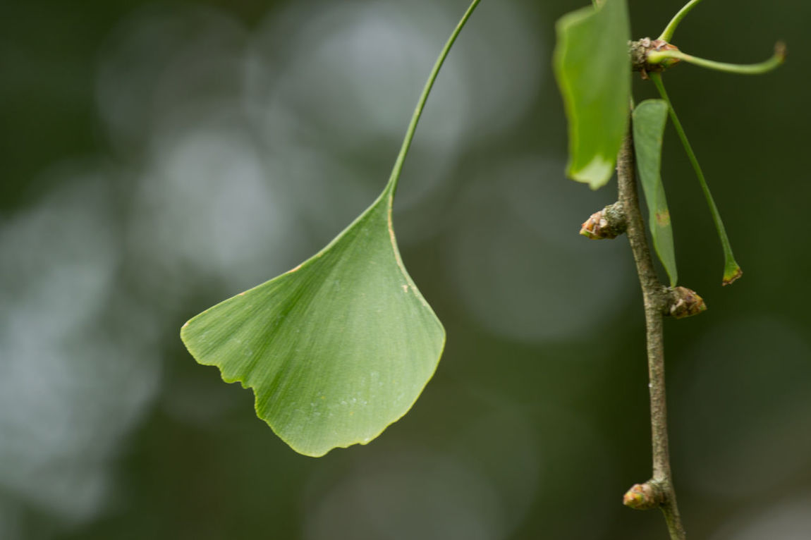Beauty In Nature Botany Close-up Depth Of Field Fragility Leaf Nature No People Plant Ginkgo Ginkgo Leaf