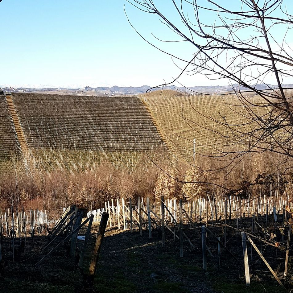 Sky Tree Outdoors Beauty In Nature Nature No People Barolo Wineyards Vineyards In Winter Landscape Tranquility Piedmont Italy Langhe Scenics Environmental Conservation Clear Sky Nature Growth Agriculture Rural Scene Scenic View