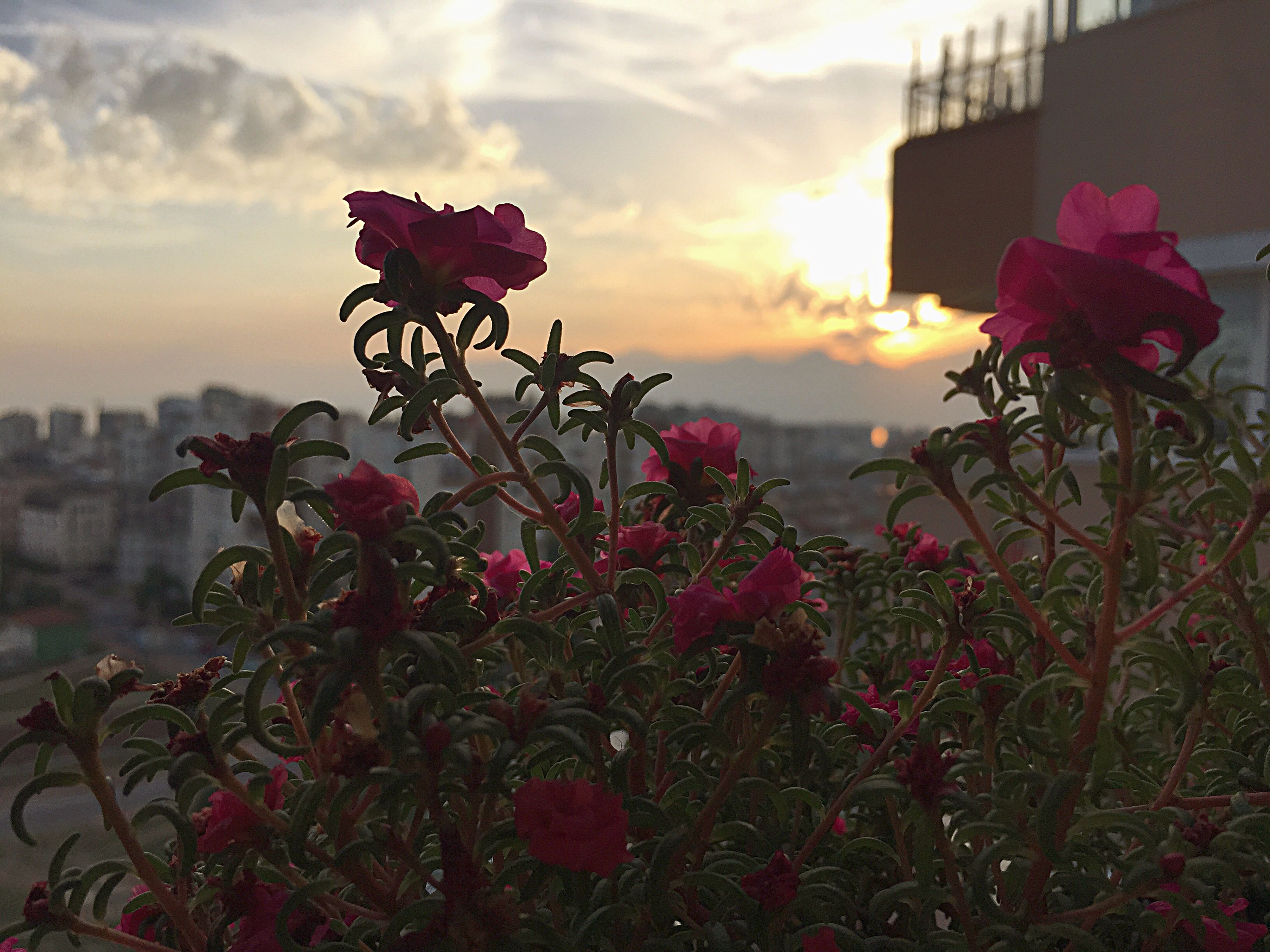flower, growth, freshness, fragility, plant, sky, beauty in nature, petal, nature, sunset, blooming, flower head, building exterior, cloud - sky, focus on foreground, built structure, pink color, stem, field, architecture