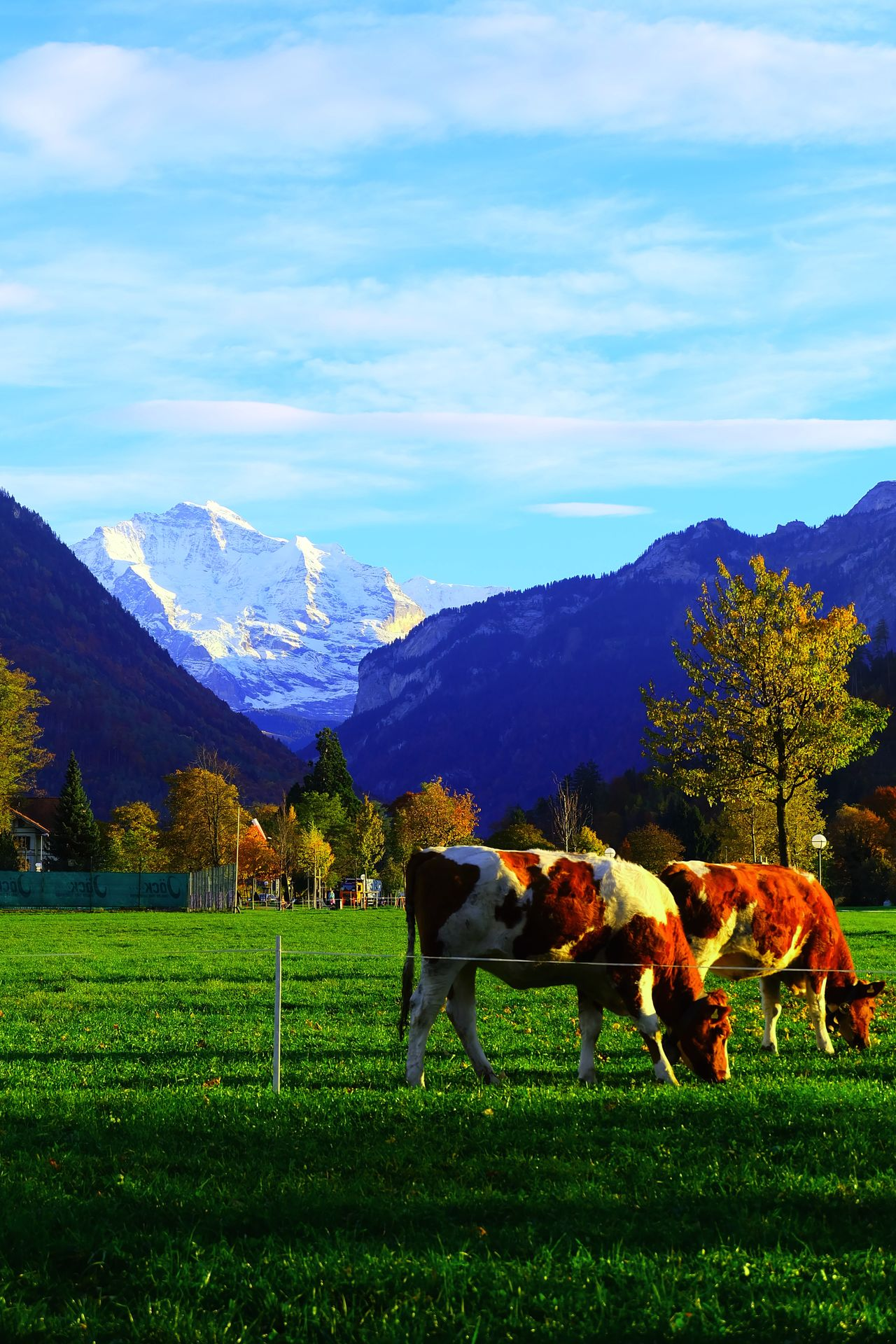 Beauty In Nature Cow Cows Interlaken Jungfrau Mammal Mountain Mountain Range Nature Switzerland