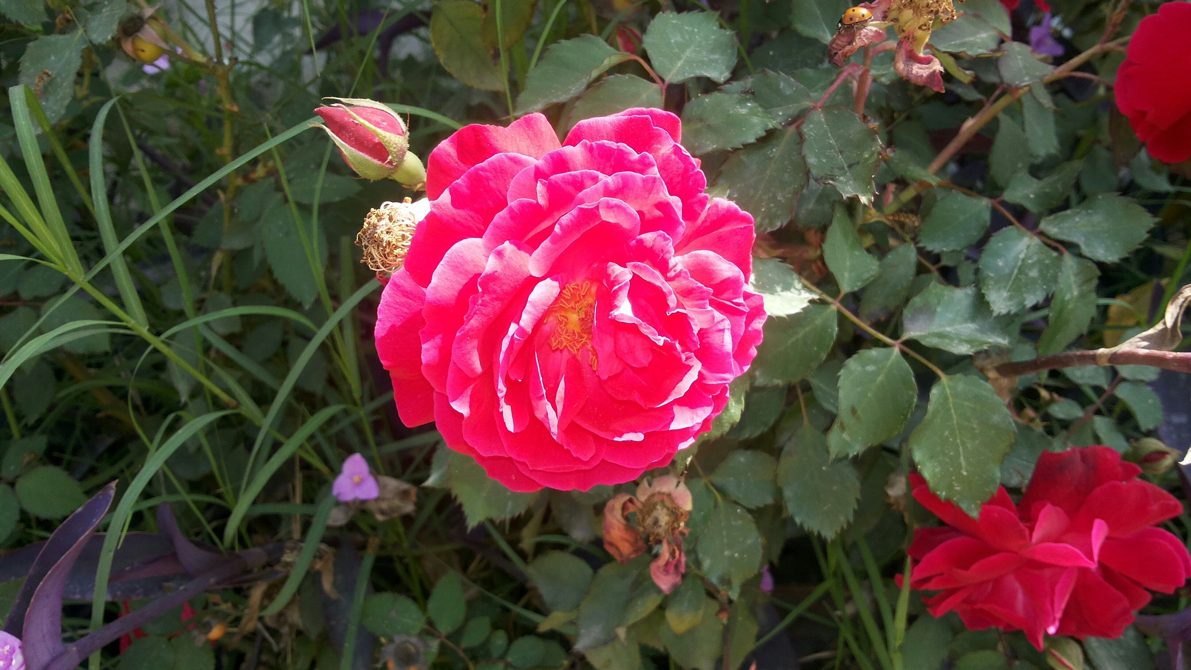 flower, freshness, petal, fragility, flower head, growth, beauty in nature, pink color, blooming, plant, rose - flower, leaf, nature, red, close-up, high angle view, in bloom, pink, park - man made space, focus on foreground