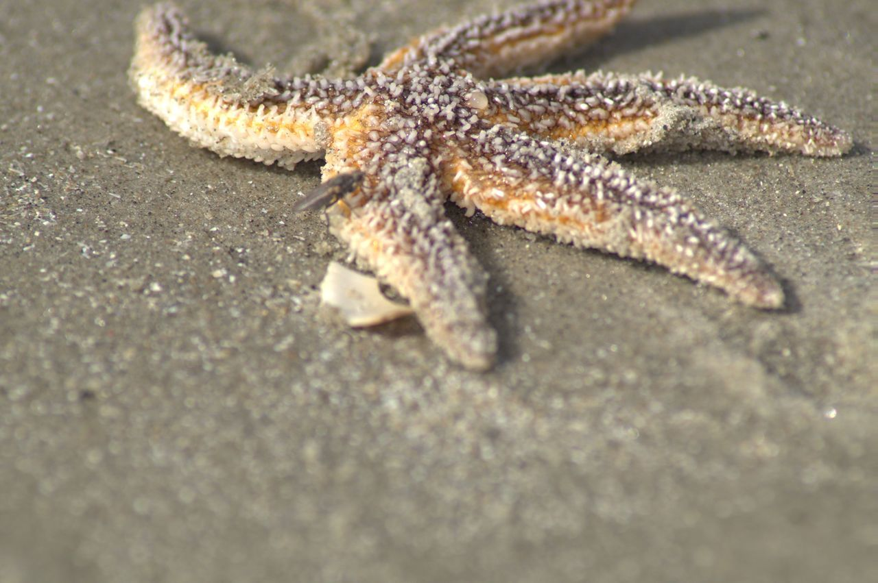 Animal Themes Animal Wildlife Animals In The Wild Beach Life Beachphotography Beachtime Close-up Day Nature No People One Animal Outdoors Reptile Sea Life Sea Star Starfish