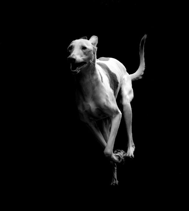 Animal Head  Animal Themes Black Background Copy Space Dark Domestic Animals Front View Full Length Horse Ibizan Hound Livestock Mammal Night One Animal Podenco Ibicenco Side View Standing Studio Shot White White Color Wildlife Zoology