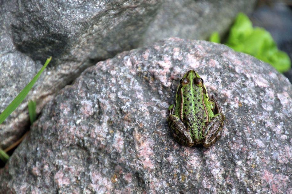 Beautiful stock photos of frog, Amphibian, Animal, Animal Themes, Close-Up