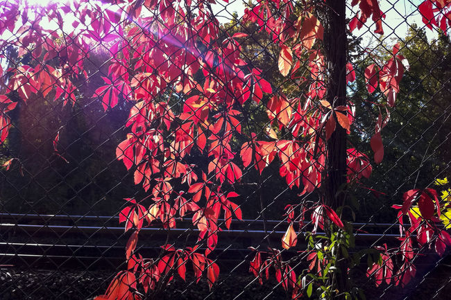 Red leaved tree at railway track Abundance Bush Growth Leaves Mesh Wire Fence Order Protected Railway Tracks Relaxing Tree