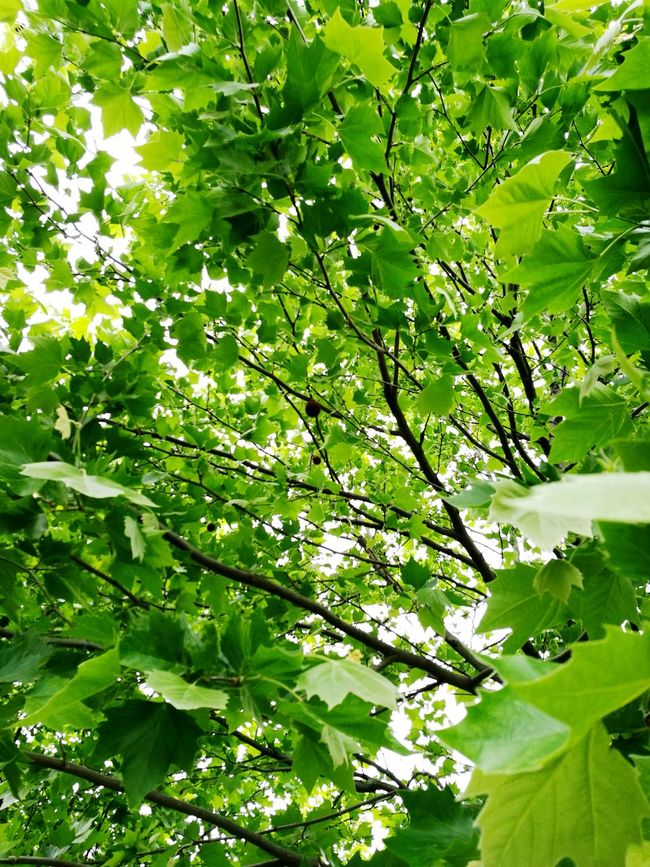 Green Fresh Maple Nature Breathe Enjoying Nature Hug A Tree Alive  Peace Zen Relax Take A Walk Trees Leaves Walk With Me Lets Get Lost Park Walk In The Park Peaceful Green Leaves Branches Branches And Leaves Adventure