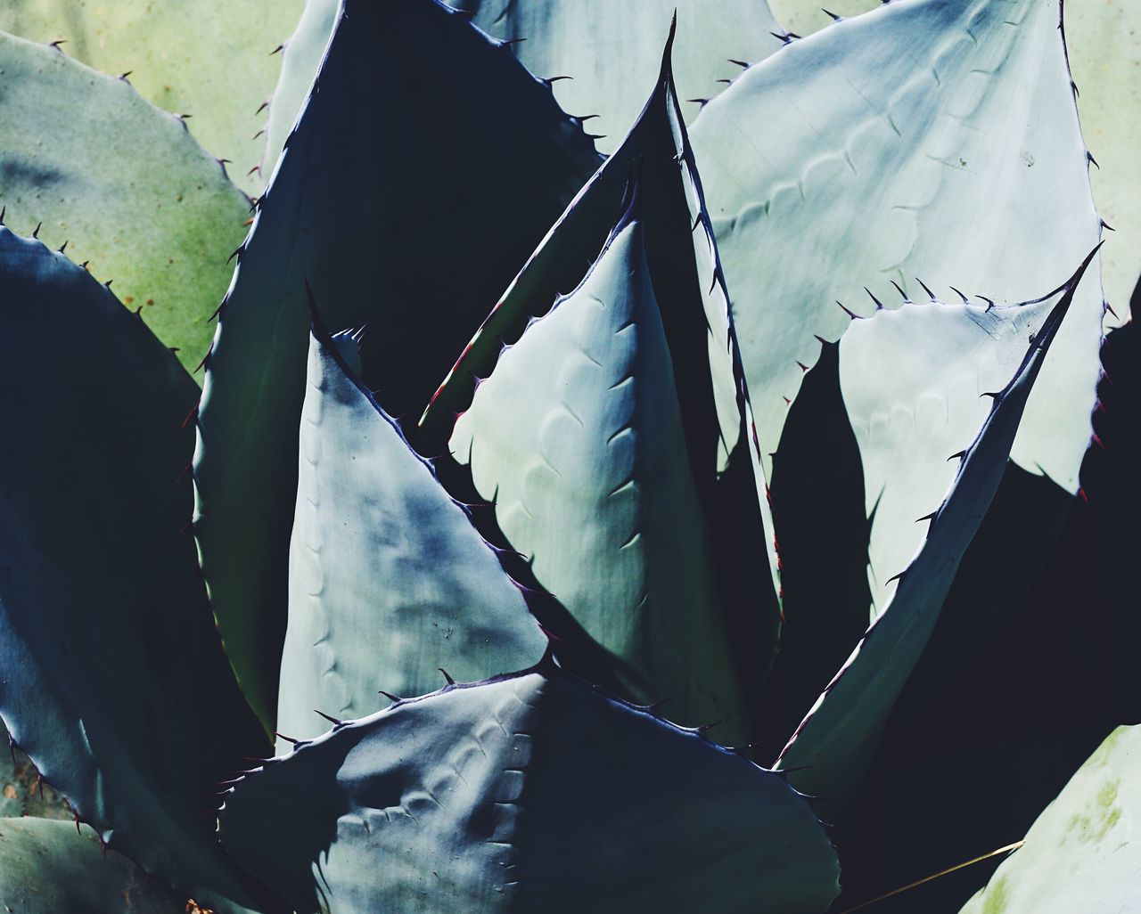 No People Leaf Day Close-up Low Angle View Outdoors Backgrounds Nature Agave Plant Vscocam Nature Photography Beauty In Nature Succulents Green Color Green Vacations Plants Nature Vsconature