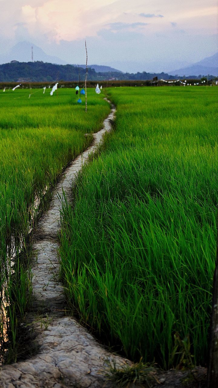 field, agriculture, growth, nature, crop, rural scene, green color, grass, tranquil scene, tranquility, beauty in nature, outdoors, the way forward, sky, scenics, cloud - sky, landscape, no people, rice paddy, cereal plant, day, plant