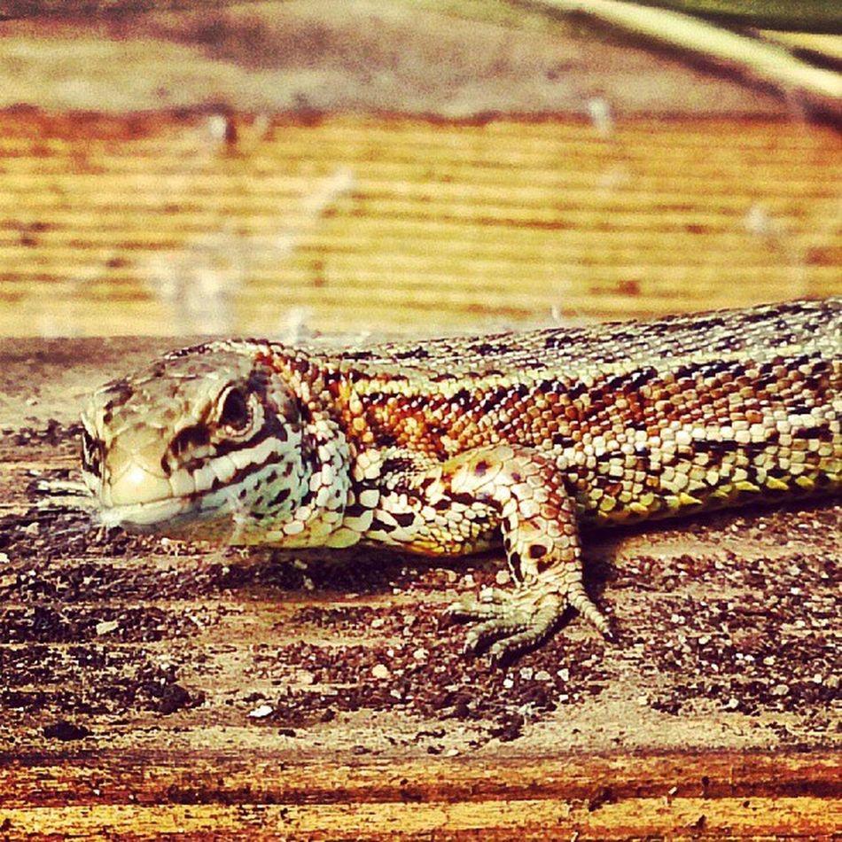 Lizardorama!!!! Mycamerastories Today Found Polytunnel lizard reptile dude aberdeenshire wildlife nature naturalscotland visitscotland garden polytunnel animal beautiful love ace