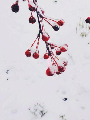Nature Snow Berry Autumn