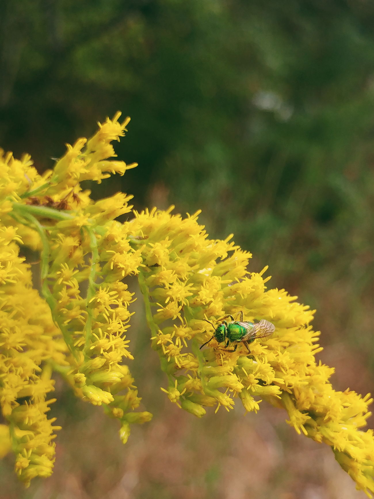 Animal Themes Animals In The Wild Beauty In Nature Bee Botany Bug Close-up Flower Focus On Foreground Freshness Goldenrod Green Insect Nature One Animal Pollination Wildlife Yellow
