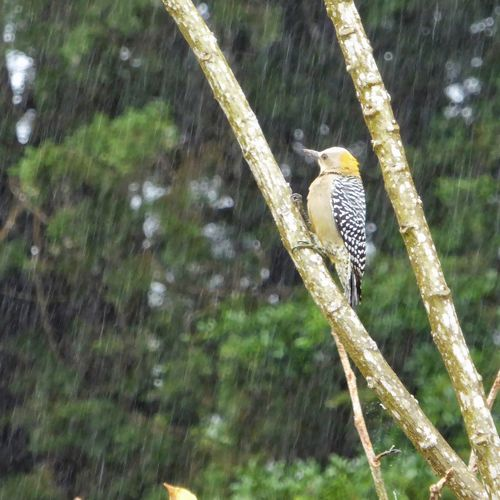 Woodpecker Gray And Yellow Animals In The Wild Animal Wildlife Bird Perching Stand Alone In A Tree Rainy Day In The Rain