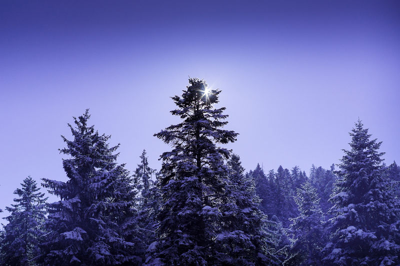 Tree Nature Silhouette Purple No People Christmas Tree Sky Outdoors Beauty In Nature Day Winter Weather Tree Snow Nature Landscape Cold Temperature