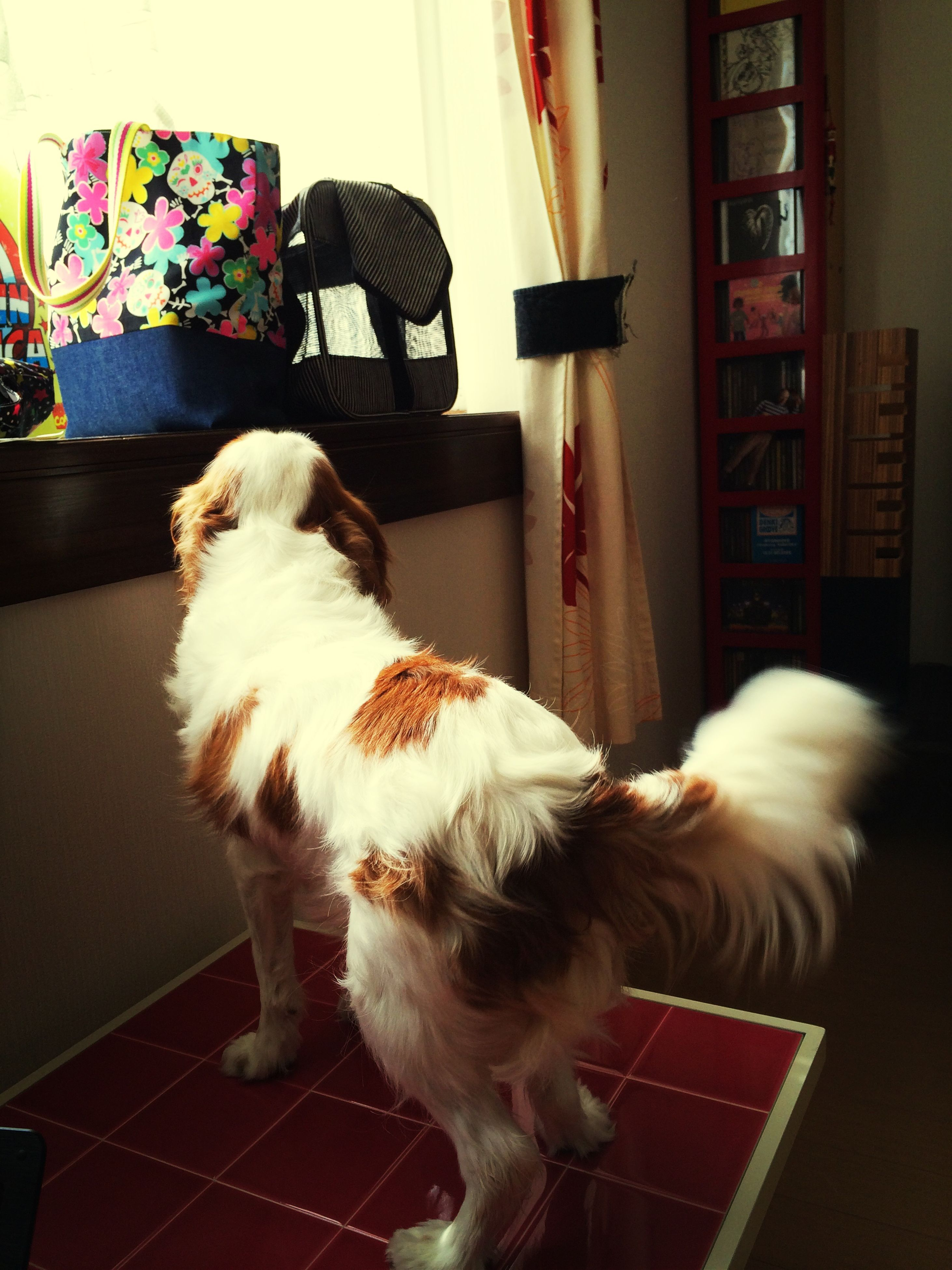 domestic animals, pets, animal themes, mammal, one animal, indoors, dog, home interior, relaxation, portrait, looking at camera, sitting, no people, animal hair, home, full length, high angle view, pampered pets, pet collar