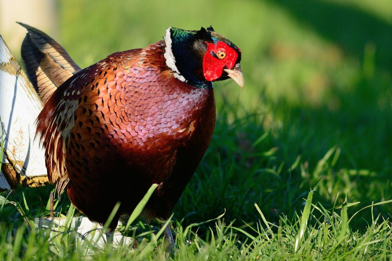 Close-Up Of A Hen On Grass